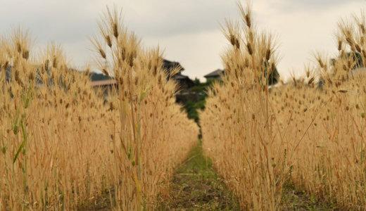 麦刈り 5月